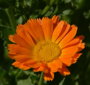 calendula officinalis 0045