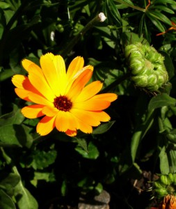 calendula officinalis 2