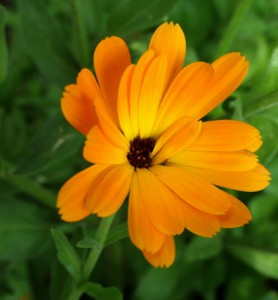 calendula officinalis 3
