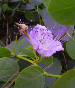 capparis spinosa 1
