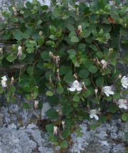 capparis spinosa 7127108