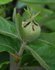 mespilus germanica 5210522