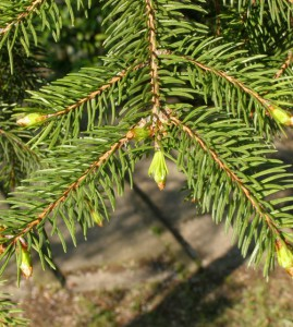 picea abies 0