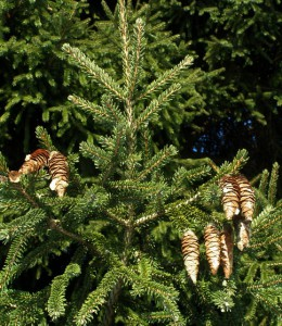 picea abies 1117337