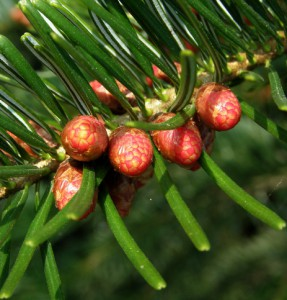 picea abies 2