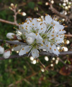 prunus spinosa 4