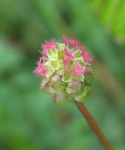 sanguisorba minor 5