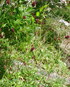 sanguisorba officinalis 6