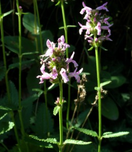 stachys officinalis 1