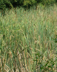 Typha latifolia 5