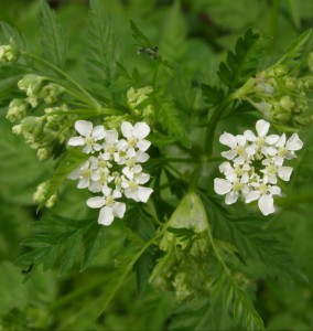 Anthriscus sylvestris 4090123