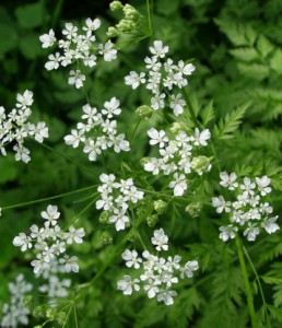 anthriscus sylvestris 2