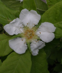 mespilus germanica 5088713